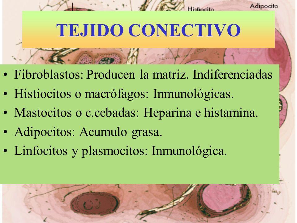 TEJIDO CONECTIVO Fibroblastos: Producen la matriz. Indiferenciadas Histiocitos o macrófagos: Inmunológicas. Mastocitos o c.cebadas: Heparina e histami