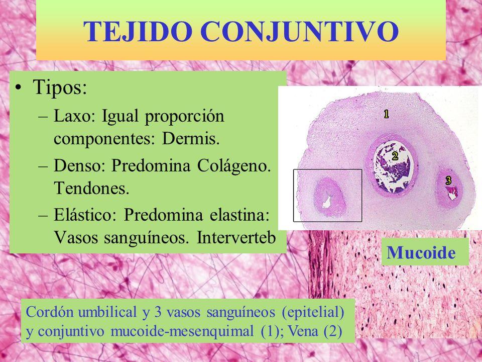 Conjuntivo laxo TEJIDO CONJUNTIVO Tipos: –Laxo: Igual proporción componentes: Dermis. –Denso: Predomina Colágeno. Tendones. –Elástico: Predomina elast