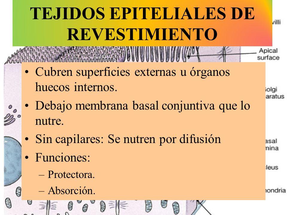 TEJIDOS EPITELIALES DE REVESTIMIENTO Cubren superficies externas u órganos huecos internos. Debajo membrana basal conjuntiva que lo nutre. Sin capilar