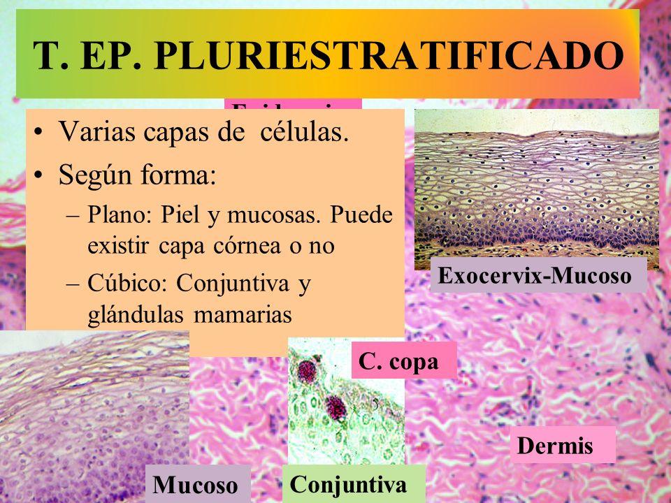 Epidermis T. EP. PLURIESTRATIFICADO Varias capas de células. Según forma: –Plano: Piel y mucosas. Puede existir capa córnea o no –Cúbico: Conjuntiva y