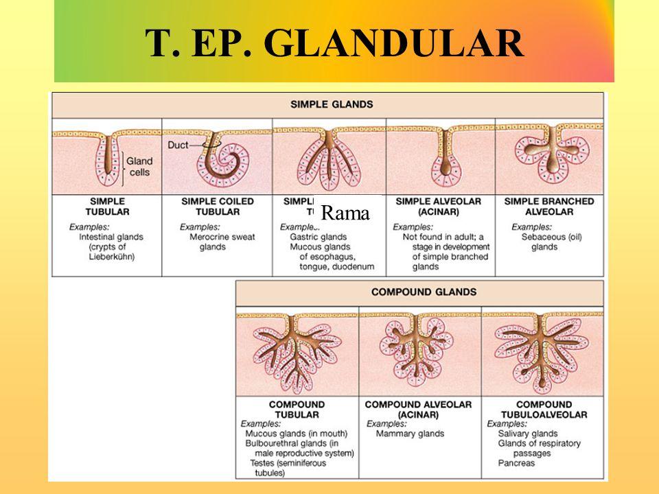 T. EP. GLANDULAR Rama