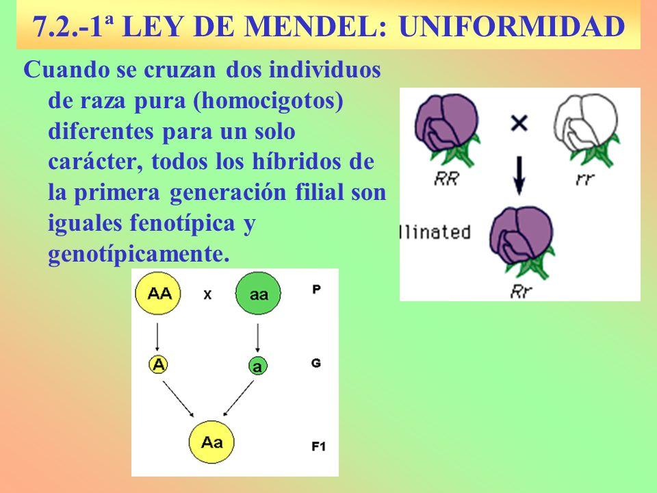 7.2.-1ª LEY DE MENDEL: UNIFORMIDAD Cuando se cruzan dos individuos de raza pura (homocigotos) diferentes para un solo carácter, todos los híbridos de