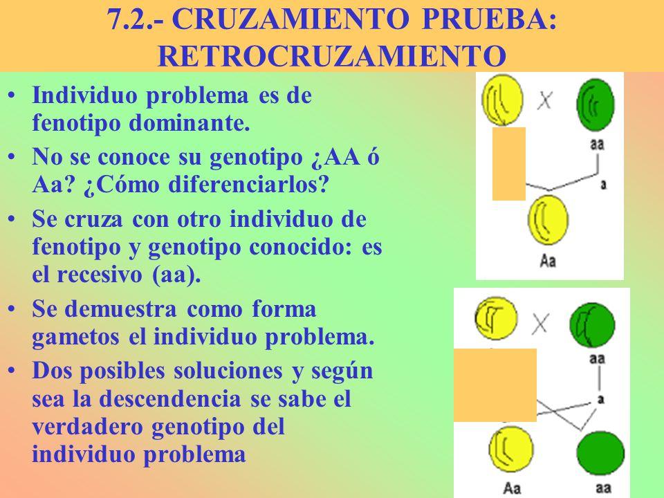 7.2.- CRUZAMIENTO PRUEBA: RETROCRUZAMIENTO Individuo problema es de fenotipo dominante. No se conoce su genotipo ¿AA ó Aa? ¿Cómo diferenciarlos? Se cr