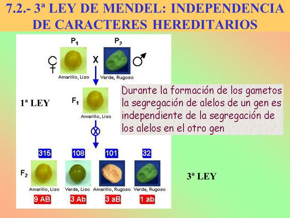 7.2.- 3ª LEY DE MENDEL: INDEPENDENCIA DE CARACTERES HEREDITARIOS 1ª LEY 3ª LEY