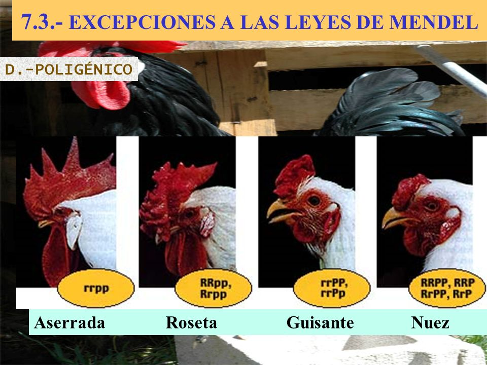 7.3.- EXCEPCIONES A LAS LEYES DE MENDEL D.-POLIGÉNICO Aserrada Roseta Guisante Nuez