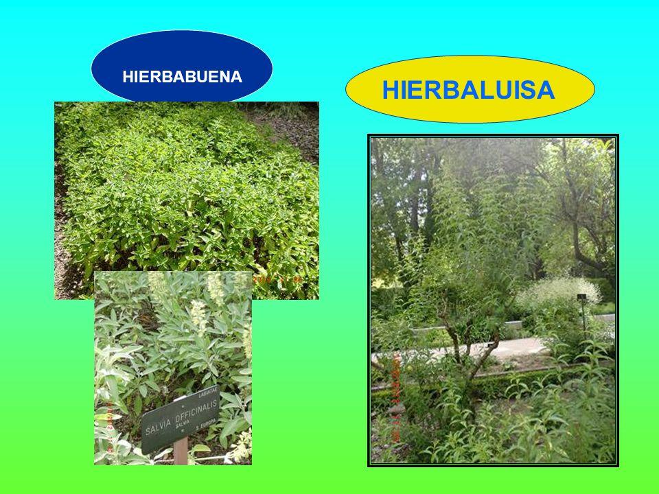 HIERBABUENA HIERBALUISA
