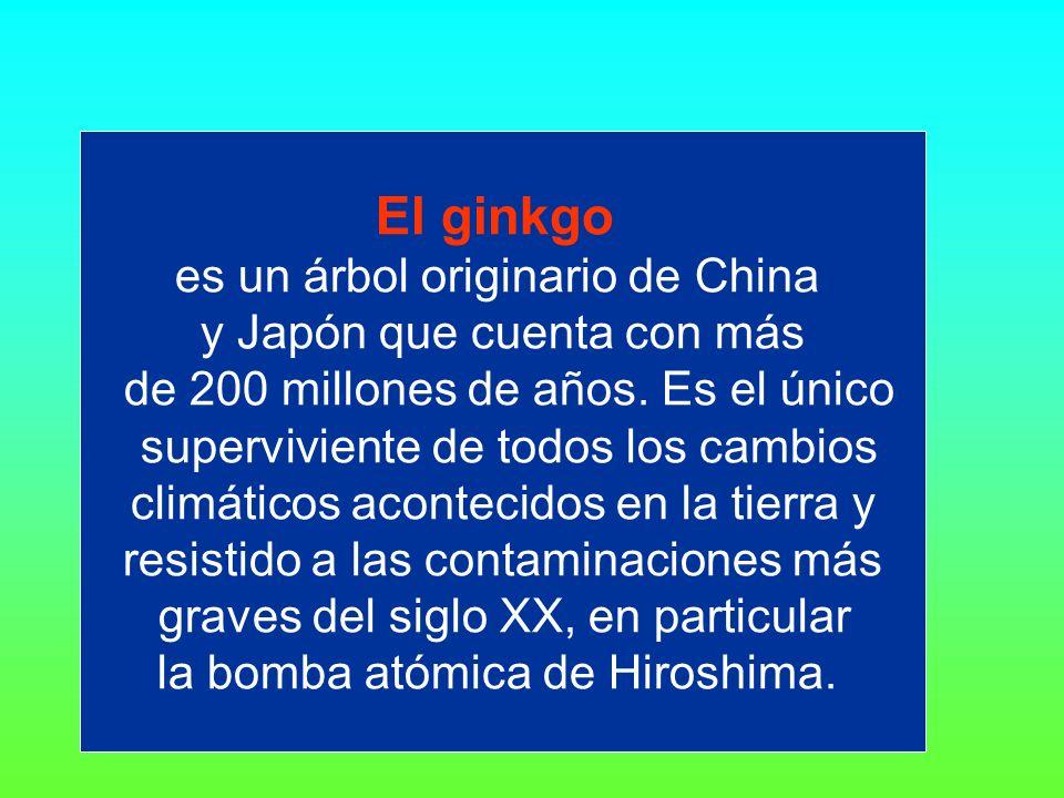 El ginkgo es un árbol originario de China y Japón que cuenta con más de 200 millones de años.