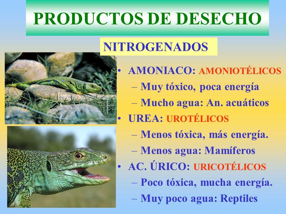 AMONIACO: AMONIOTÉLICOS –Muy tóxico, poca energía –Mucho agua: An. acuáticos UREA: UROTÉLICOS –Menos tóxica, más energía. –Menos agua: Mamíferos AC. Ú