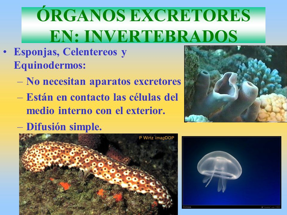 ÓRGANOS EXCRETORES EN: INVERTEBRADOS Esponjas, Celentereos y Equinodermos: –No necesitan aparatos excretores –Están en contacto las células del medio
