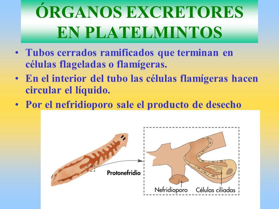 ÓRGANOS EXCRETORES EN PLATELMINTOS Tubos cerrados ramificados que terminan en células flageladas o flamígeras.