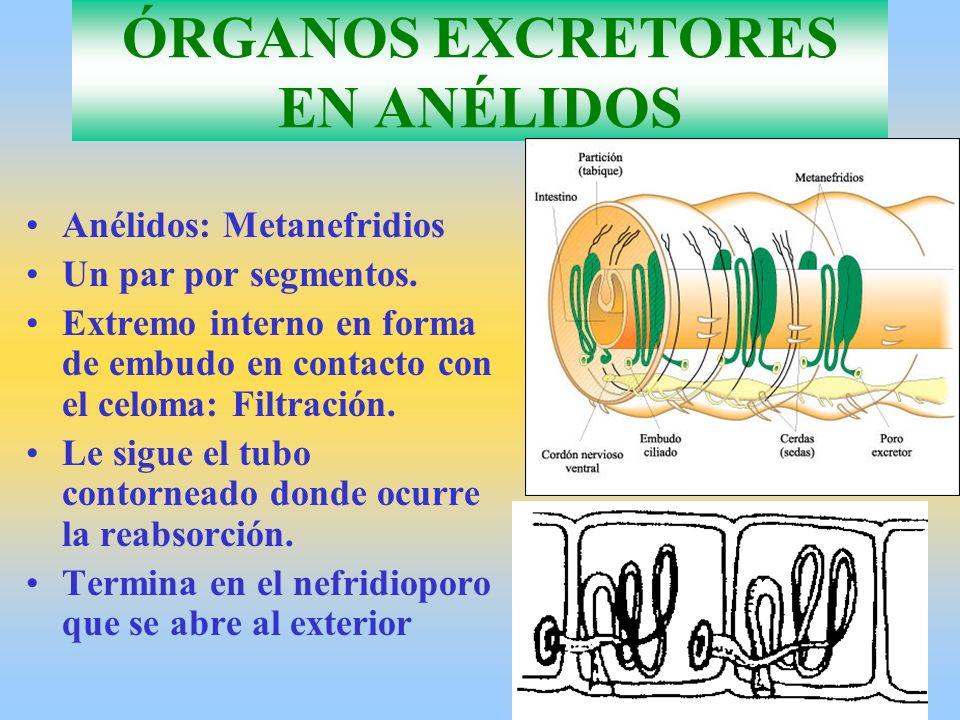 ÓRGANOS EXCRETORES EN ANÉLIDOS Anélidos: Metanefridios Un par por segmentos. Extremo interno en forma de embudo en contacto con el celoma: Filtración.