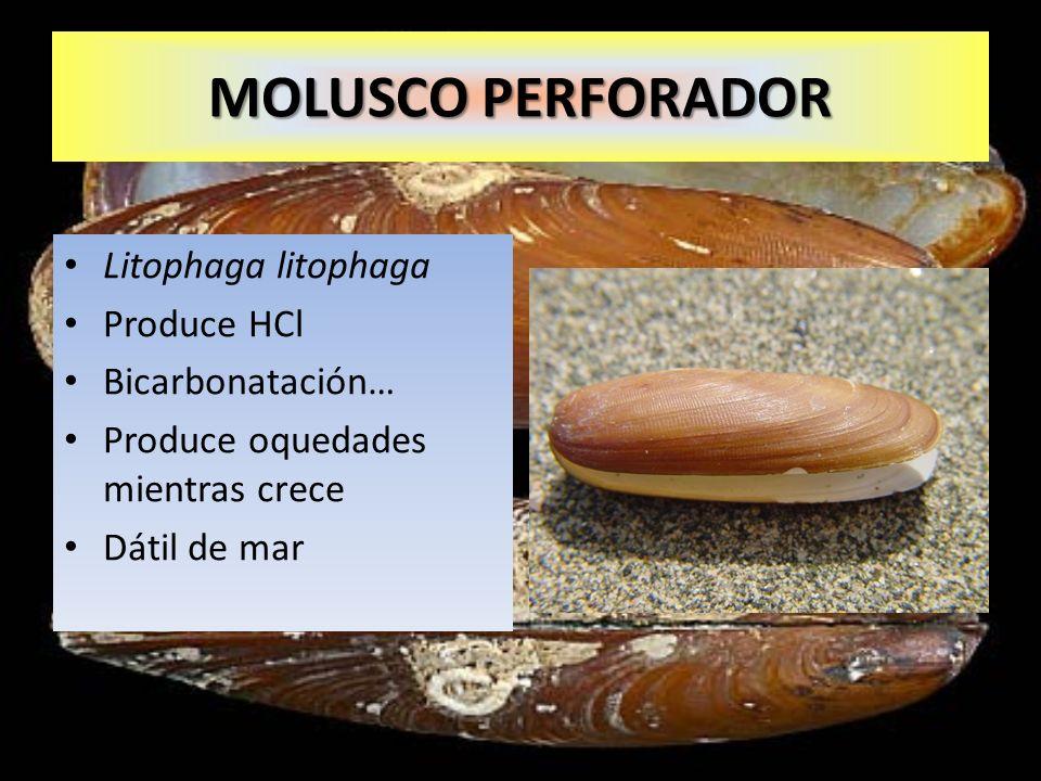 Litophaga litophaga Produce HCl Bicarbonatación… Produce oquedades mientras crece Dátil de mar MOLUSCO PERFORADOR