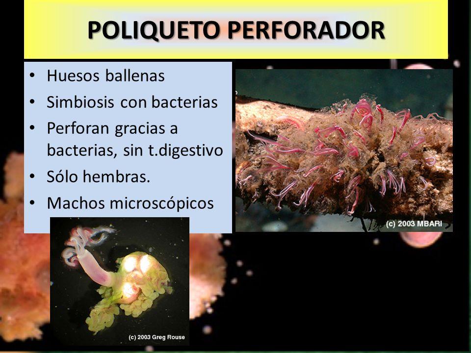 Huesos ballenas Simbiosis con bacterias Perforan gracias a bacterias, sin t.digestivo Sólo hembras.