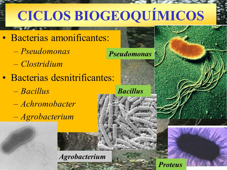 Agrobacterium CICLOS BIOGEOQUÍMICOS Bacterias amonificantes: –Pseudomonas –Clostridium Bacterias desnitrificantes: –Bacillus –Achromobacter –Agrobacte