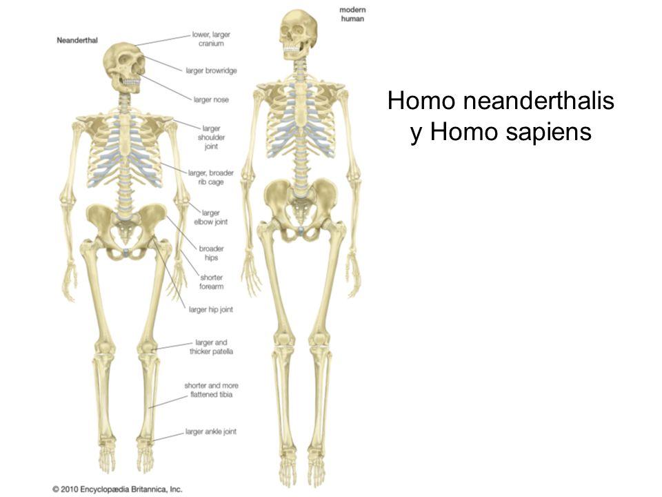 Homo neanderthalis y Homo sapiens