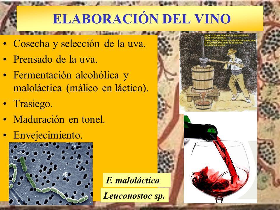 ELABORACIÓN DEL VINO Cosecha y selección de la uva. Prensado de la uva. Fermentación alcohólica y maloláctica (málico en láctico). Trasiego. Maduració