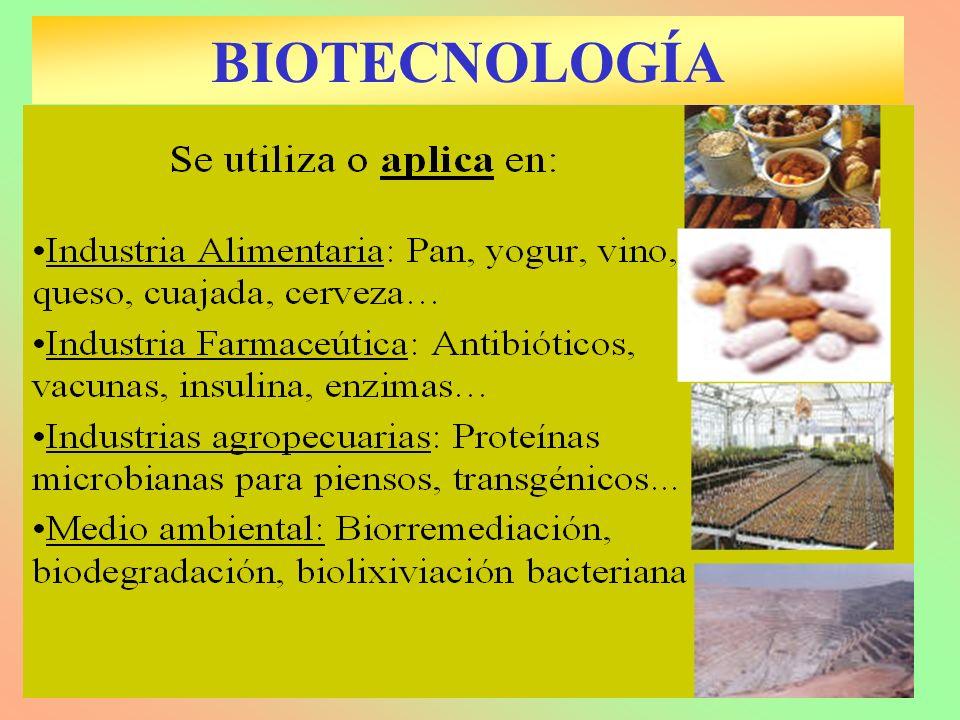 BIOTECNOLOGÍA Y LA INDUSTRIA ALIMENTARIA Fermentación láctica: –Producción de yogur, queso, kefir, cuajada, chucrut, pepinillos, aceitunas, kishk (leche+cereales) –BACTERIAS: Lactobacillus y Streptococcus Fermentación alcohólica: –Producción de vino, cerveza.