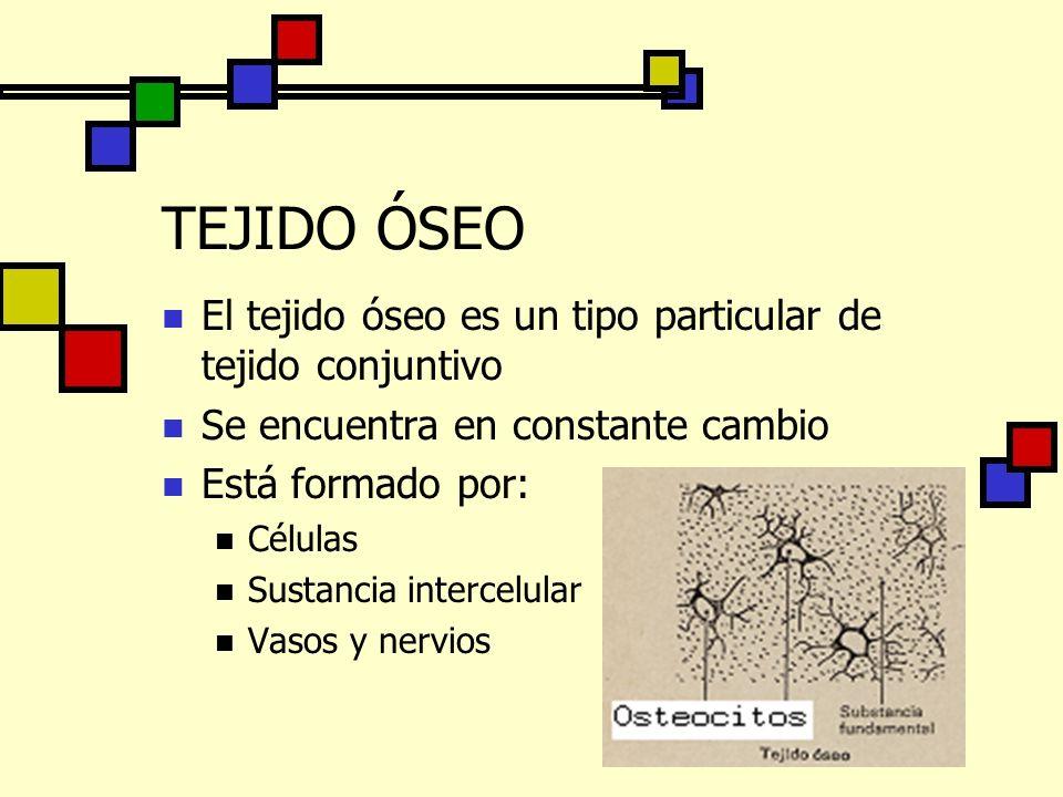TEJIDO ÓSEO El tejido óseo es un tipo particular de tejido conjuntivo Se encuentra en constante cambio Está formado por: Células Sustancia intercelula