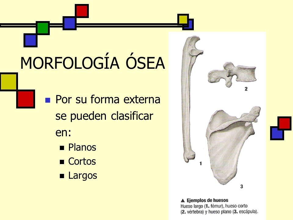 MORFOLOGÍA ÓSEA Por su forma externa se pueden clasificar en: Planos Cortos Largos