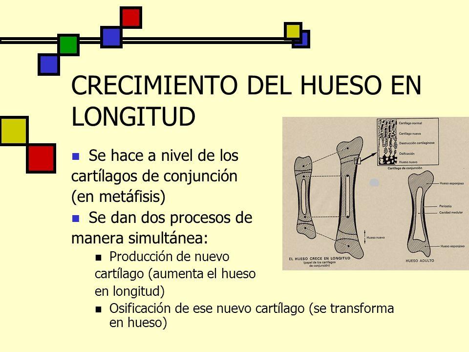 CRECIMIENTO DEL HUESO EN LONGITUD Se hace a nivel de los cartílagos de conjunción (en metáfisis) Se dan dos procesos de manera simultánea: Producción