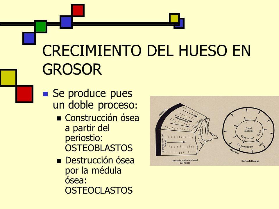 CRECIMIENTO DEL HUESO EN GROSOR Se produce pues un doble proceso : Construcción ósea a partir del periostio: OSTEOBLASTOS Destrucción ósea por la médu