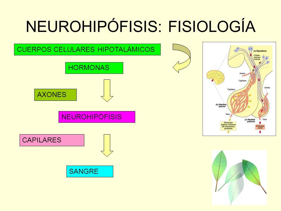 NEUROHIPÓFISIS: FISIOLOGÍA CUERPOS CELULARES HIPOTALÁMICOS HORMONAS AXONES NEUROHIPÓFISIS SANGRE CAPILARES