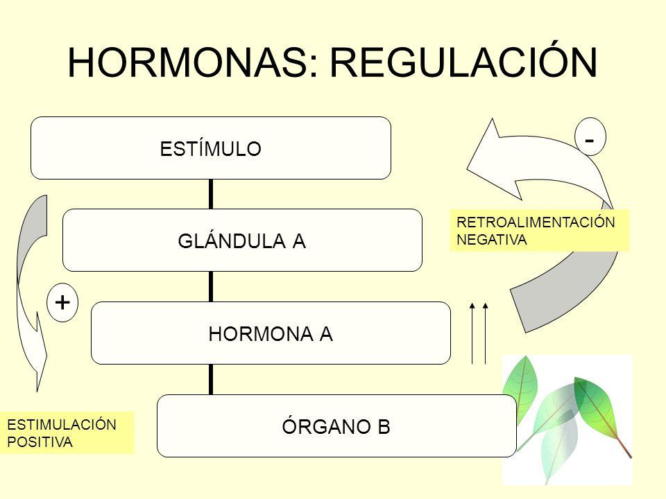 HORMONAS: REGULACIÓN ESTÍMULO GLÁNDULA A HORMONA A ÓRGANO B - -+ RETROALIMENTACIÓN NEGATIVA ESTIMULACIÓN POSITIVA
