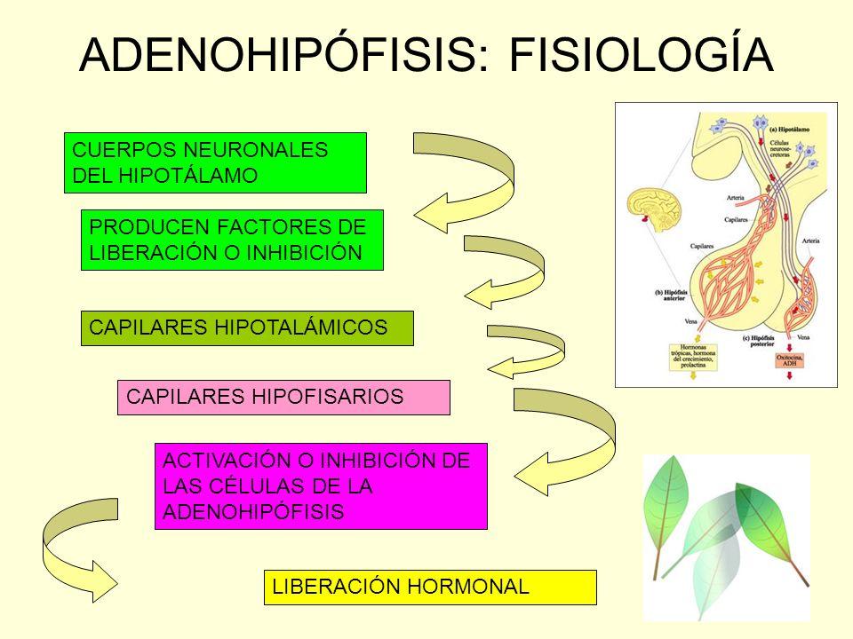 ADENOHIPÓFISIS: FISIOLOGÍA CUERPOS NEURONALES DEL HIPOTÁLAMO PRODUCEN FACTORES DE LIBERACIÓN O INHIBICIÓN CAPILARES HIPOTALÁMICOS CAPILARES HIPOFISARI