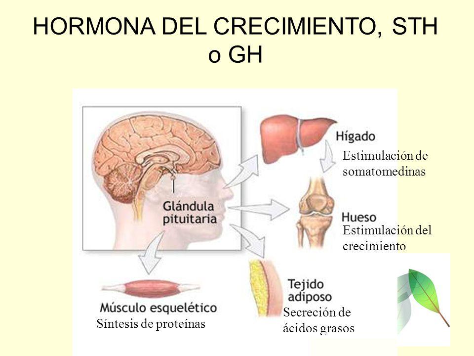 HORMONA DEL CRECIMIENTO, STH o GH Estimulación de somatomedinas Síntesis de proteínas Secreción de ácidos grasos Estimulación del crecimiento
