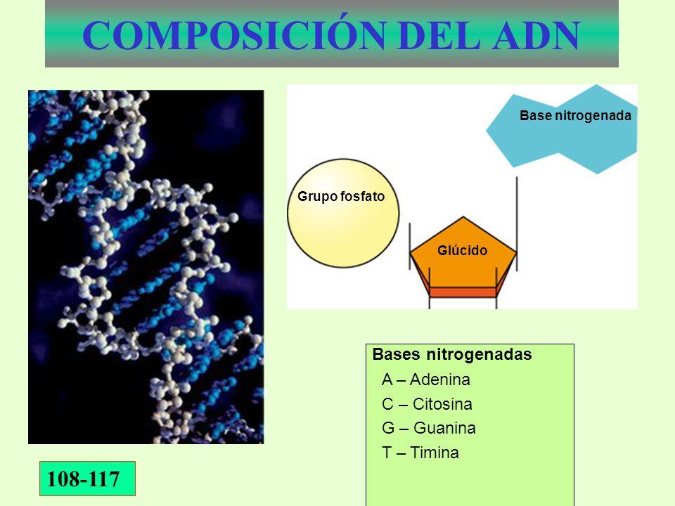 COMPOSICIÓN DEL ADN Grupo fosfato Glúcido Base nitrogenada A – Adenina C – Citosina G – Guanina T – Timina Bases nitrogenadas 108-117