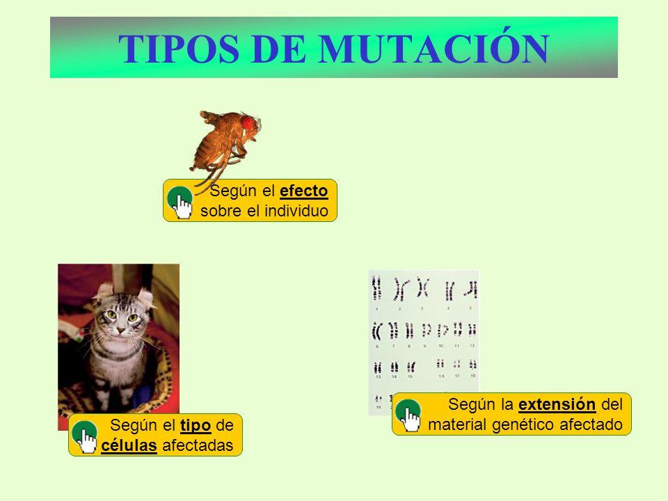 Según el efecto sobre el individuo TIPOS DE MUTACIÓN Según el tipo de células afectadas Según la extensión del material genético afectado
