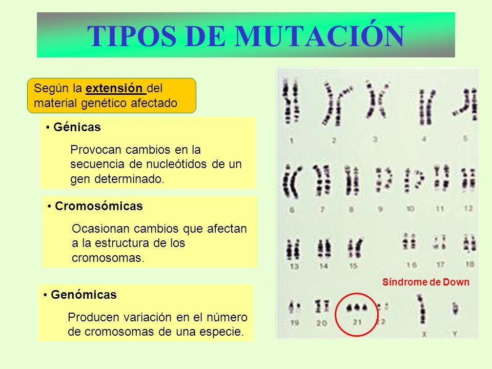 TIPOS DE MUTACIÓN Perdida de las alas Orejas curvadas Génicas Provocan cambios en la secuencia de nucleótidos de un gen determinado. Según la extensió