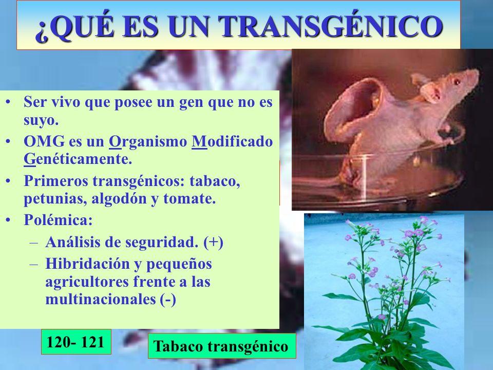 ¿QUÉ ES UN TRANSGÉNICO 120- 121 Petunia transgénica con doble púrpura Ser vivo que posee un gen que no es suyo. OMG es un Organismo Modificado Genétic
