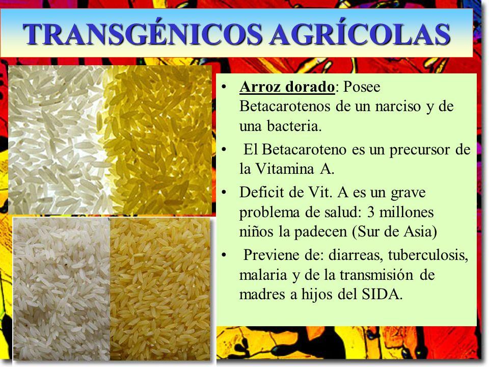 Arroz dorado: Posee Betacarotenos de un narciso y de una bacteria. El Betacaroteno es un precursor de la Vitamina A. Deficit de Vit. A es un grave pro