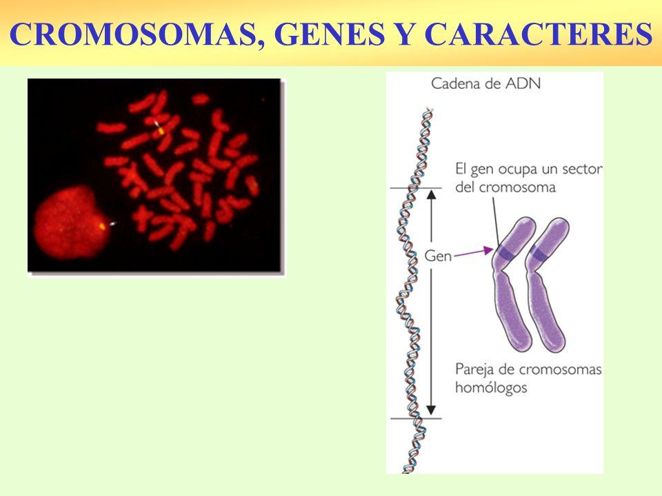 Hay pocos cromosomas.