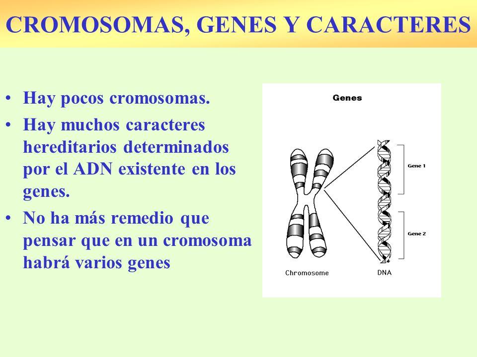 Hay pocos cromosomas. Hay muchos caracteres hereditarios determinados por el ADN existente en los genes. No ha más remedio que pensar que en un cromos