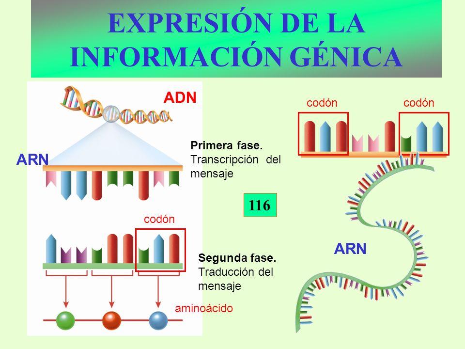 EXPRESIÓN DE LA INFORMACIÓN GÉNICA Primera fase. Transcripción del mensaje Segunda fase. Traducción del mensaje aminoácido codón ADN ARN 116