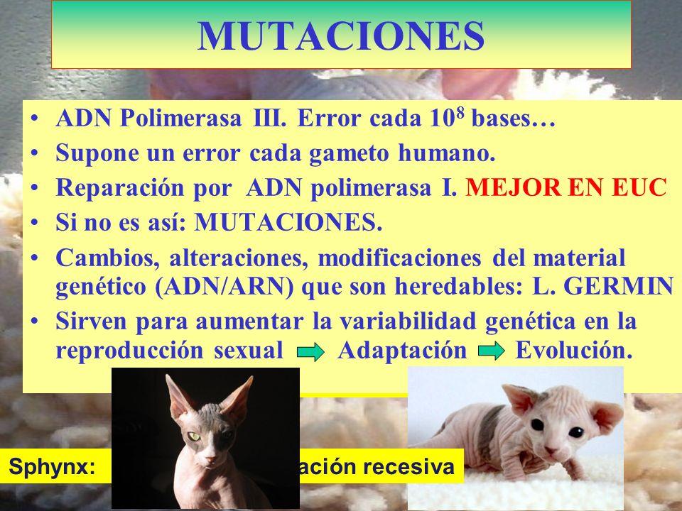 Kohona: Doble mutación MUTACIONES ADN Polimerasa III. Error cada 10 8 bases… Supone un error cada gameto humano. Reparación por ADN polimerasa I. MEJO