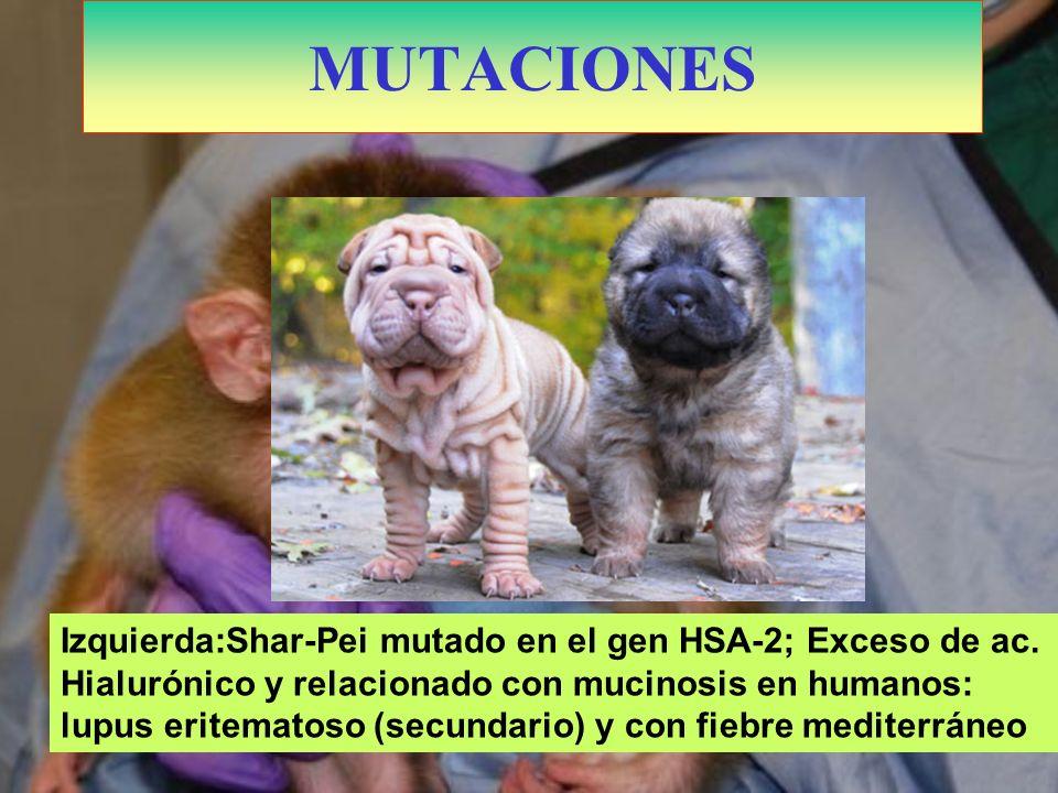 MACACOS QUIMERA, procedente de tres embriones diferentes: 6 padres MUTACIONES Izquierda:Shar-Pei mutado en el gen HSA-2; Exceso de ac. Hialurónico y r