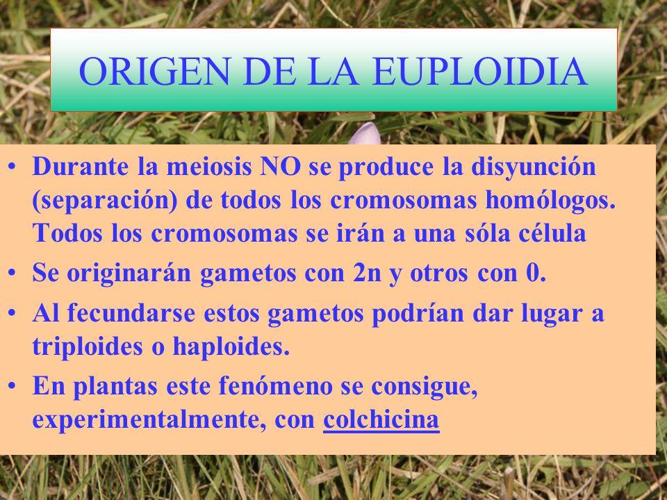 ORIGEN DE LA EUPLOIDIA Durante la meiosis NO se produce la disyunción (separación) de todos los cromosomas homólogos. Todos los cromosomas se irán a u