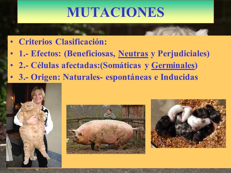 Lemurcat: Cruce Lemur con gato en China¿? MUTACIONES Criterios Clasificación: 1.- Efectos: (Beneficiosas, Neutras y Perjudiciales) 2.- Células afectad