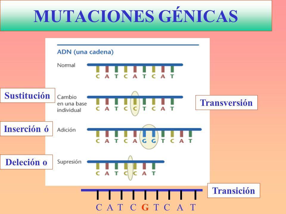 MUTACIONES GÉNICAS C A T C G T C A T Transversión Transición Deleción o Inserción ó Sustitución