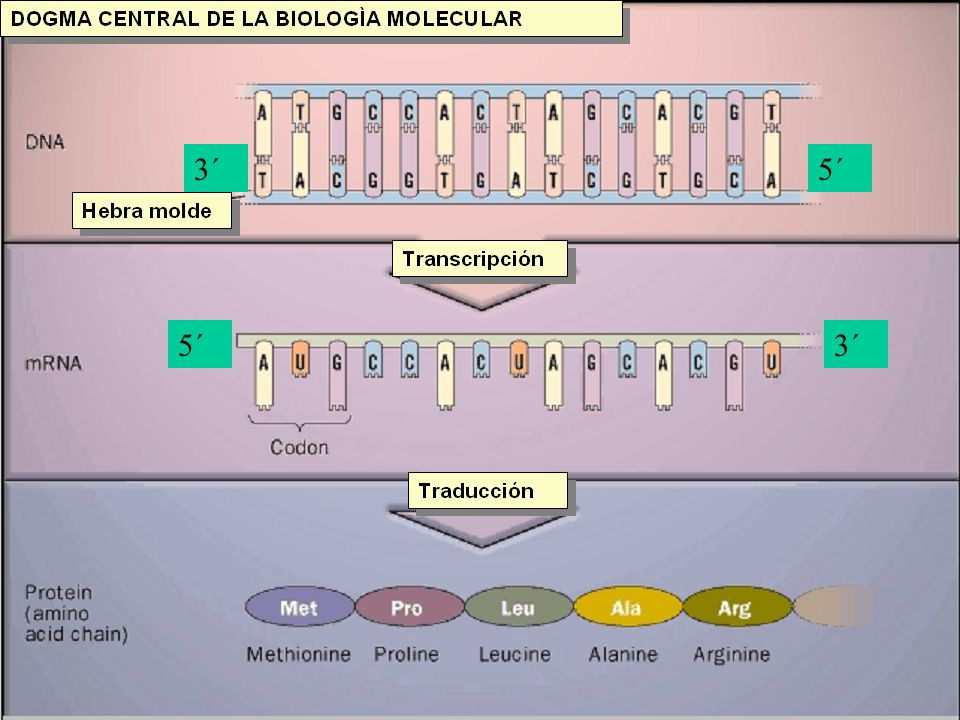 TRANSCRIPCIÓN Componentes necesarios: –ADN molde (Sólo una cadena o hebra) –4 Nucleósidos trifosforilados: ATP, GTP, CTP y UTP –ARN polimerasa.