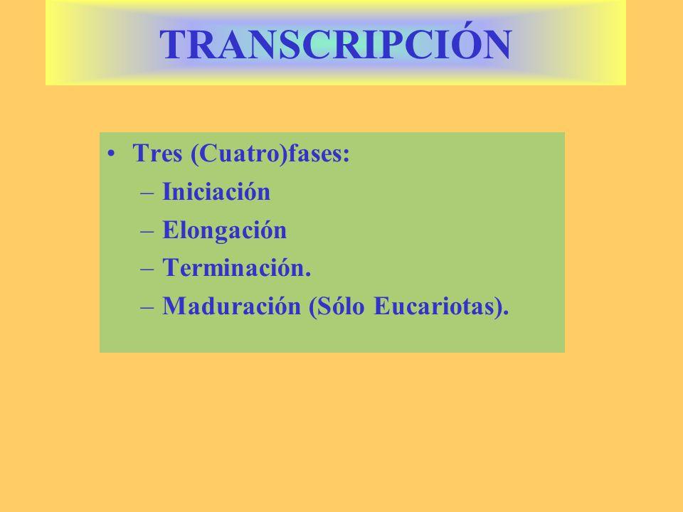 Tres (Cuatro)fases: –Iniciación –Elongación –Terminación. –Maduración (Sólo Eucariotas). TRANSCRIPCIÓN