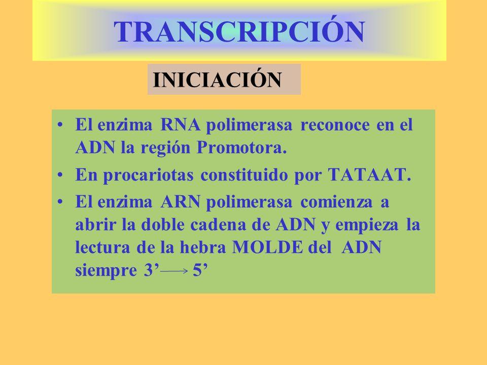 La RNA polimerasa además de leer une los ribonucleótidos en sentido 5 3 Lo hace de forma contínua y la hebra de ARNm sintetizada es complementaria a la cadena de ADN 3 5 TRANSCRIPCIÓN ELONGACIÓN
