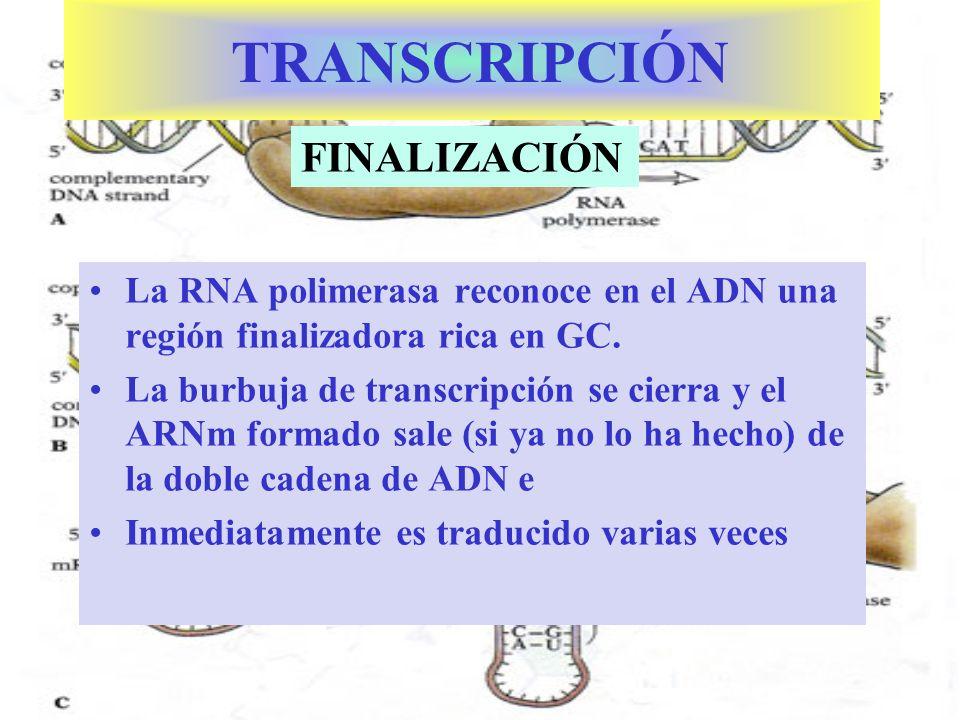 CARACTERÍSTICAS DEL ARNm PROCARIOTA Es una copia de una parte del ADN.