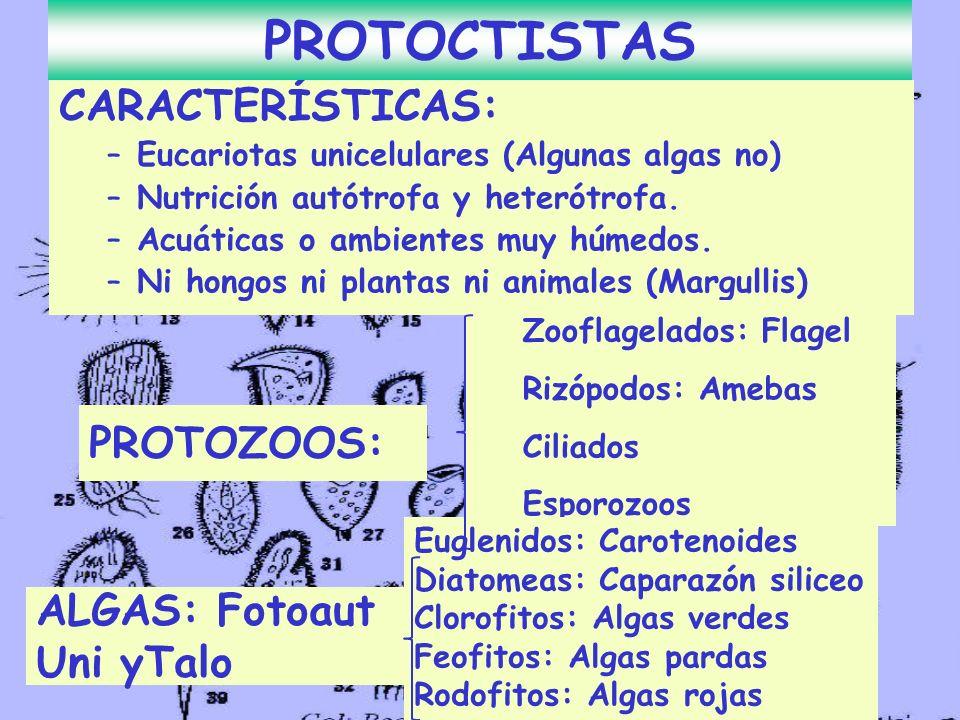 CARACTERÍSTICAS: –Eucariotas unicelulares (Algunas algas no) –Nutrición autótrofa y heterótrofa. –Acuáticas o ambientes muy húmedos. –Ni hongos ni pla
