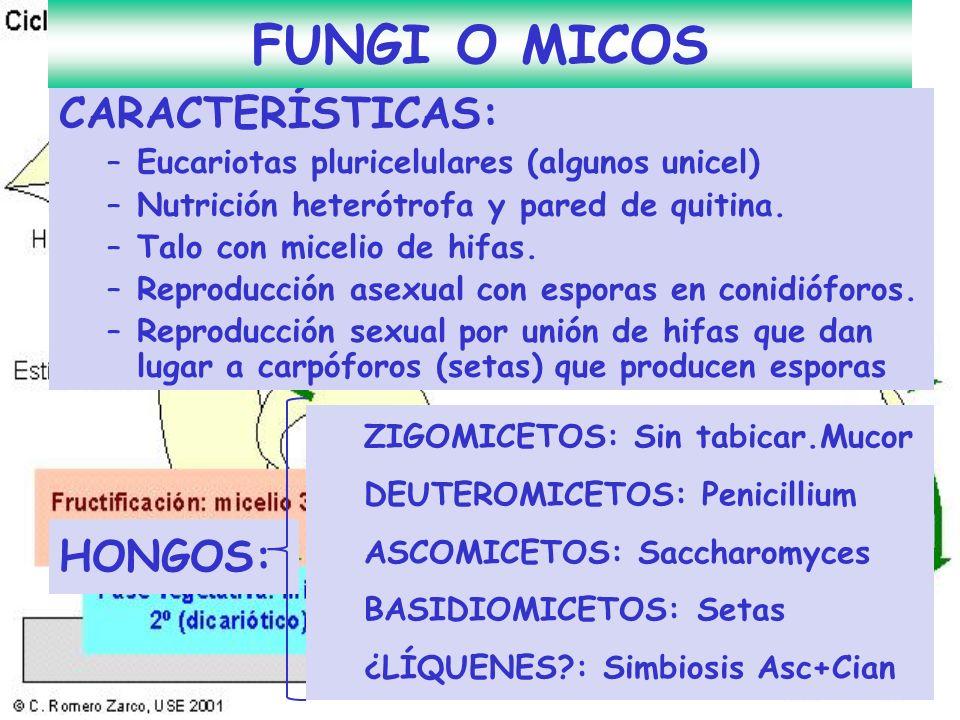 CARACTERÍSTICAS: –Eucariotas pluricelulares (algunos unicel) –Nutrición heterótrofa y pared de quitina. –Talo con micelio de hifas. –Reproducción asex