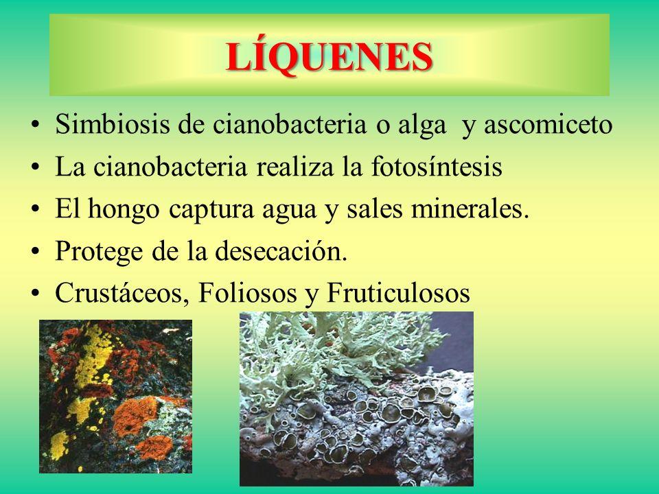 LÍQUENES Simbiosis de cianobacteria o alga y ascomiceto La cianobacteria realiza la fotosíntesis El hongo captura agua y sales minerales. Protege de l
