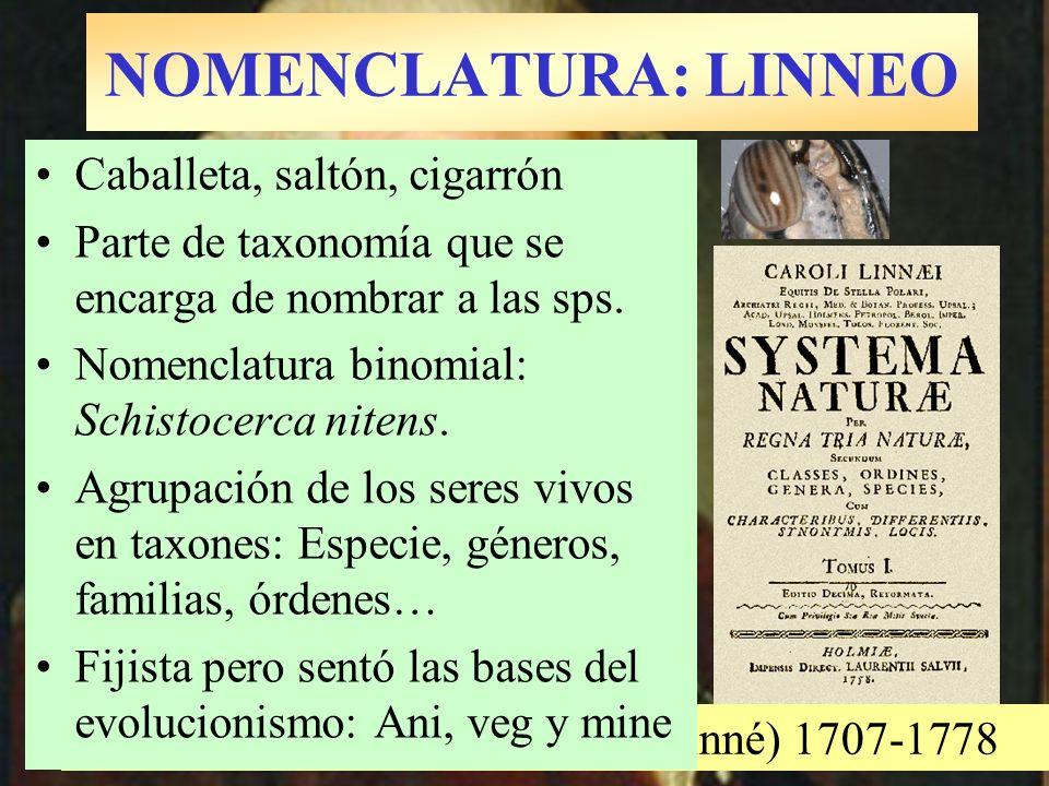 NOMENCLATURA: LINNEO Carolus N. Linnaeus (Carl von Linné) 1707-1778 Caballeta, saltón, cigarrón Parte de taxonomía que se encarga de nombrar a las sps